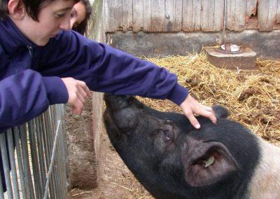 Schweine streicheln